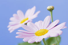 Pale pink daisy Stock Images