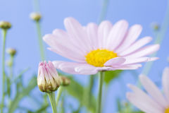Pale pink daisy bud. With blue sky background royalty free stock photography