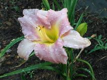 Pale Pink Day Lilly foto de archivo