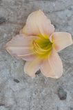 Pale pink daylily flower on concrete Stock Image