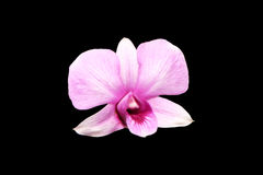 Pale pink dendrobium orchid flowers Royalty Free Stock Photo