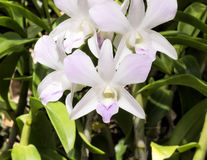 Pale pink dendrobium orchid flowers, outdoor Stock Image