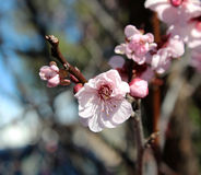 Pale pink double blooms of  Flowering Plum Tree. Stock Photo
