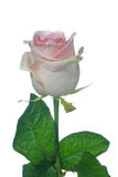 Pale pink Ensemble rose. Beautiful pale pink rose with water drops Royalty Free Stock Images