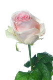 Pale pink Ensemble rose. A beautiful single pale pink rose Royalty Free Stock Photos