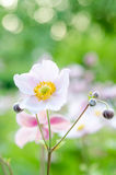 Pale pink flower in the garden, close-up Stock Image