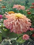 Pale Pink Flower. Pale pink  flower garden nature zinnia spring springtime royalty free stock photos