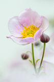 Pale pink flower Japanese anemone, close-up Royalty Free Stock Images