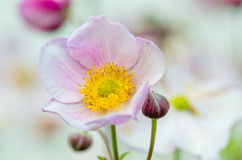 Pale pink flower Japanese anemone Royalty Free Stock Image