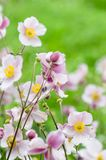 Pale pink flower Japanese anemone, close-up. Note: Shallow depth Stock Image