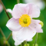 Pale pink flower Japanese anemone, close-up. Note: Shallow depth Stock Photo