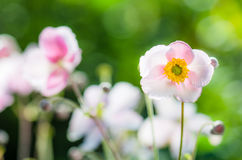 Pale pink flower Japanese anemone, close-up Royalty Free Stock Image