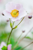 Pale pink flower Japanese anemone, close-up Stock Photography