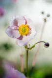 Pale pink flower Japanese anemone Stock Images