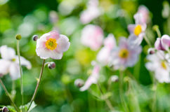 Pale pink flower Japanese anemone, close-up Royalty Free Stock Photography