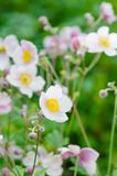 Pale pink flower Japanese anemone, close-up. Note: Shallow depth Royalty Free Stock Photography