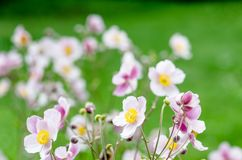 Pale pink flower Japanese anemone, close-up. Note: Shallow depth Royalty Free Stock Photo