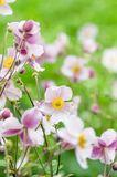 Pale pink flower Japanese anemone, close-up. Note: Shallow depth Royalty Free Stock Photos