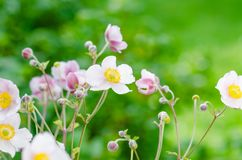 Pale pink flower Japanese anemone, close-up. Note: Shallow depth Royalty Free Stock Image