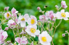 Pale pink flower Japanese anemone, close-up. Note: Shallow depth Royalty Free Stock Images