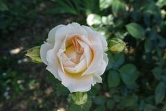 Pale pink flower of rose. In June stock photo