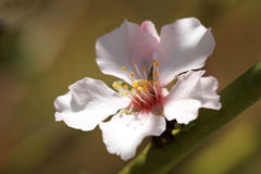 Pale pink flowers of Almond tree Royalty Free Stock Photography