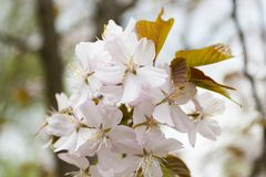 Pale pink flowers of blooming cherry Royalty Free Stock Images
