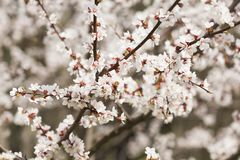 Pale pink flowers of blooming cherry Stock Photo