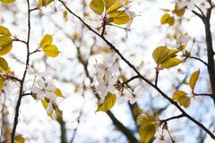 Pale pink flowers of blooming cherry Royalty Free Stock Photos
