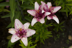 Pale pink flowers lilies. Royalty Free Stock Image