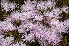 Pale pink flowers, Marimutra, Catalonia, Spain Stock Photo