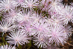 Pale pink flowers, Marimutra, Catalonia, Spain Stock Photography
