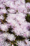Pale pink flowers, Marimutra, Catalonia, Spain Royalty Free Stock Photography