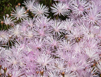 Pale pink flowers, Marimutra, Catalonia, Spain Royalty Free Stock Image