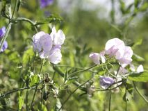 Pale pink flowers of Sweet pea Lathyrus odoratus growing in a garden stock image