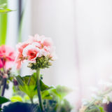 Pale pink geranium flowers, close up Royalty Free Stock Images