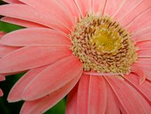 Pale pink Gerbera flower. Close up of yellow stamen in pale pink Gerbera flower Stock Images