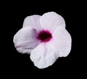 Pale pink Hibiscus flower Royalty Free Stock Images