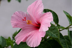 Pale Pink Hibiscus Flower perfeito Imagens de Stock Royalty Free