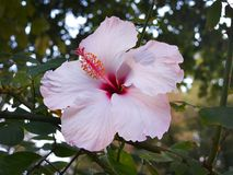 Pale pink Hibiscus flower with a pestle against a background of green leaves. Close-up royalty free stock image