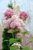 Pale pink hydrangea in the garden. Pale pink hydrangea in the summer garden Royalty Free Stock Image