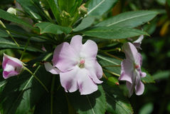 Pale Pink Impatient Flowers i blom Arkivfoton