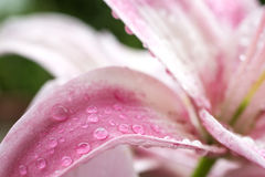 Pale pink lily petal Stock Photography