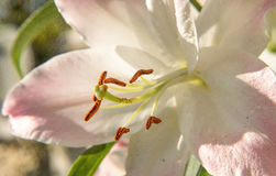 Pale Pink Lily (Lilium Longiflorum) Stock Photos