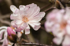 Pale pink magnolia flowers Royalty Free Stock Photo