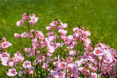 Pale pink nemesia in the garden. With green grass background stock image