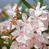 Pale pink oleander Royalty Free Stock Image