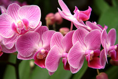 Pale pink orchid Royalty Free Stock Image