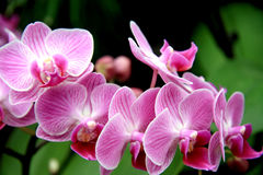 Pale pink orchid Stock Images