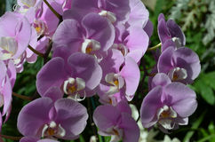 Pale Pink Orchid Flowers With vitklippning Arkivbild